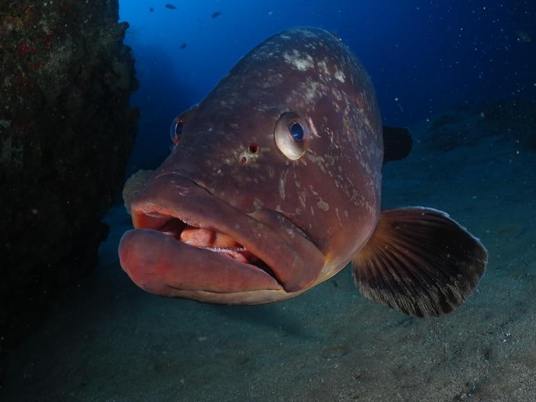 pez mero lanzarote buceo Lanzarote Buceo